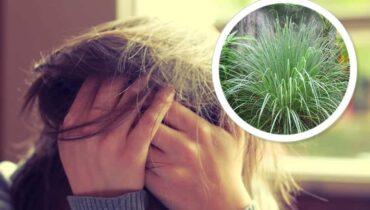 hierba luisa para el estrés